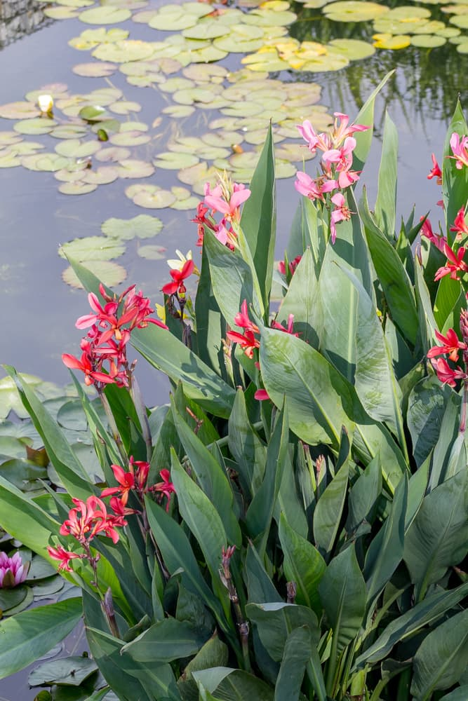 water canna in a pond, with lily pads in the background
