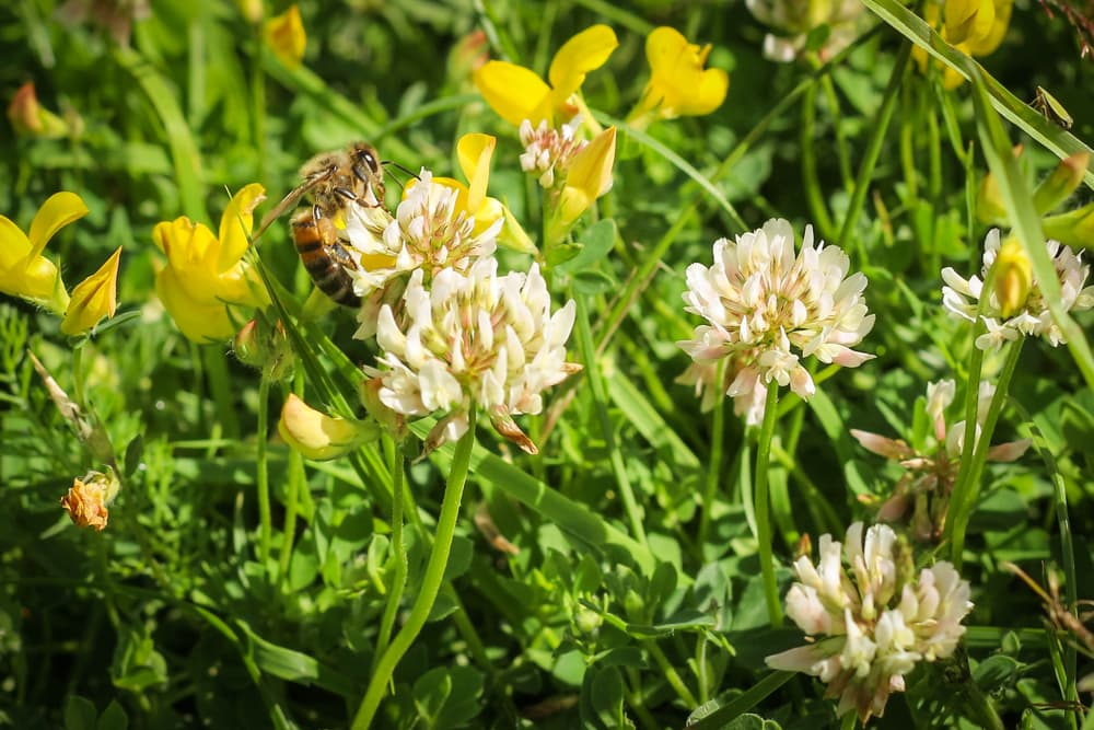 bee harvesting pollen from a white clover