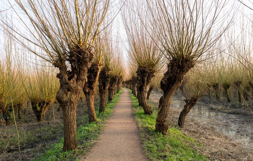Pollard willows in the Netherlands