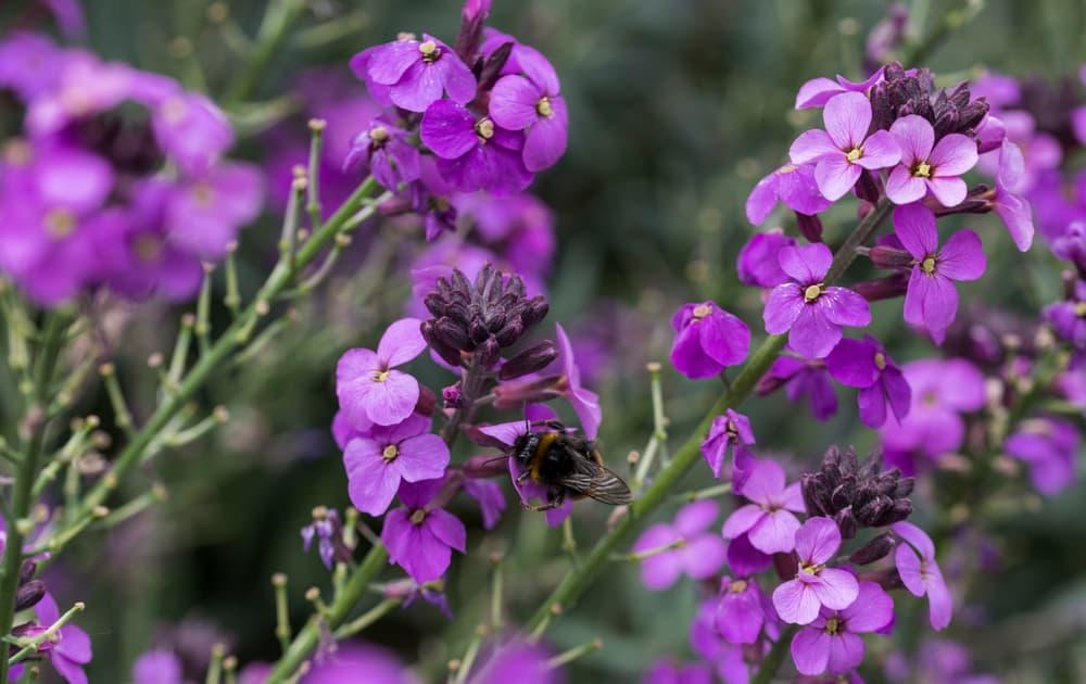 purple Erysimum Bowles's Mauve with bumblebee