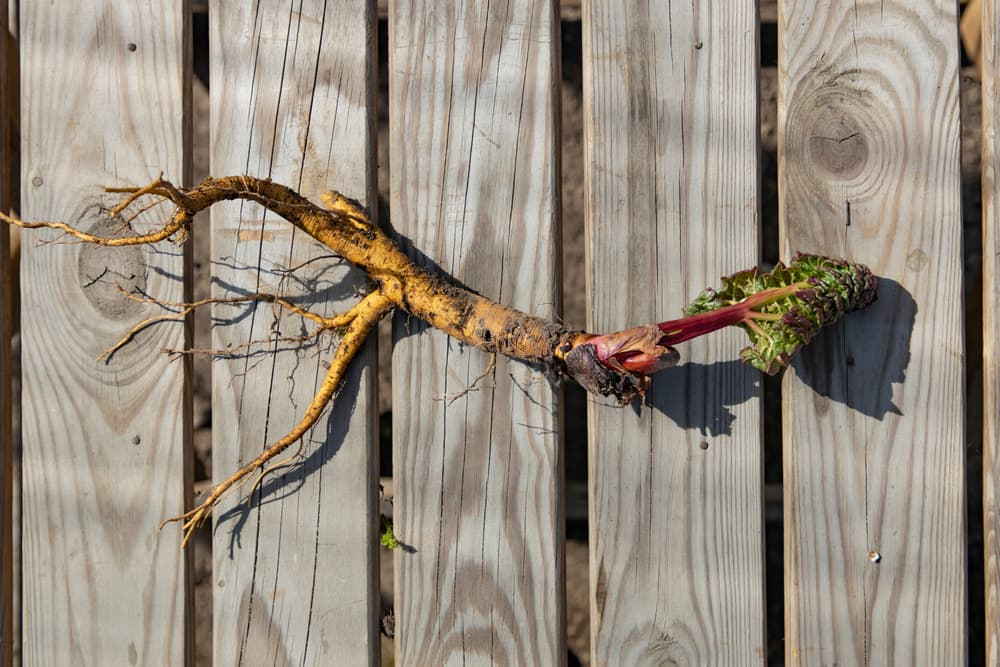 rhubarb root on a garden wooden table