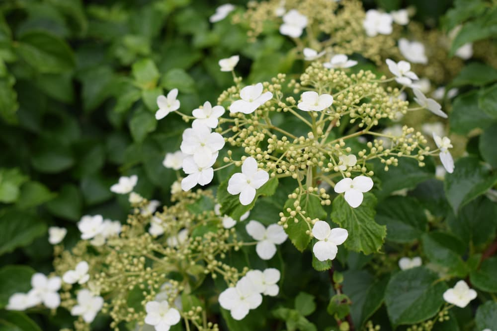 white flowers of climbing Hydrangea petiolaris
