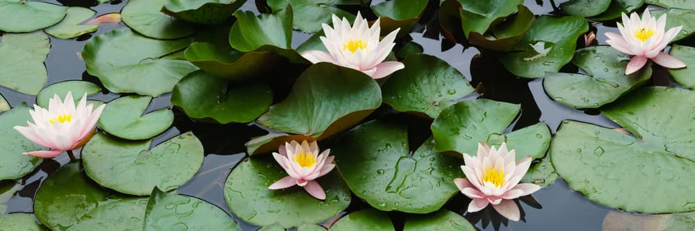 flowers and green pads of water lilies on a pond surface