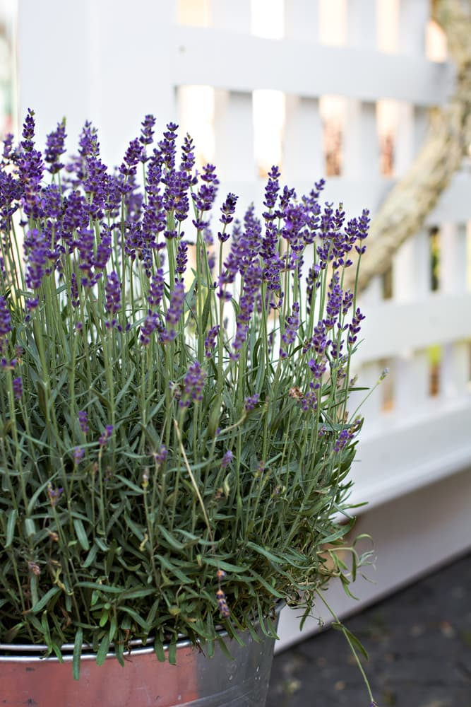 lavender plant in a steel planter