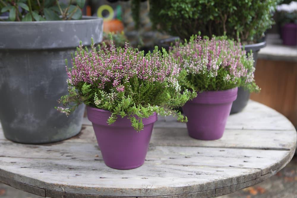 small heather plants in purple pots