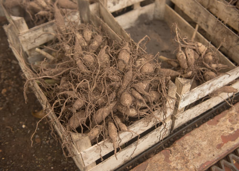 dahlia tubers in a wooden crate