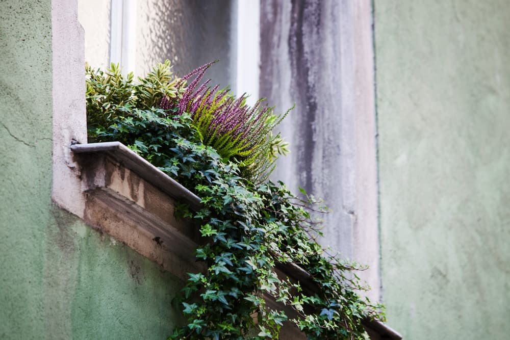 heather and ivy overflowing from a window