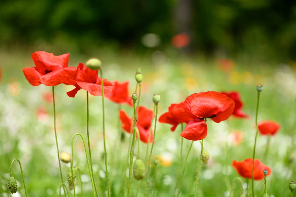 red poppies flowering in a meadow