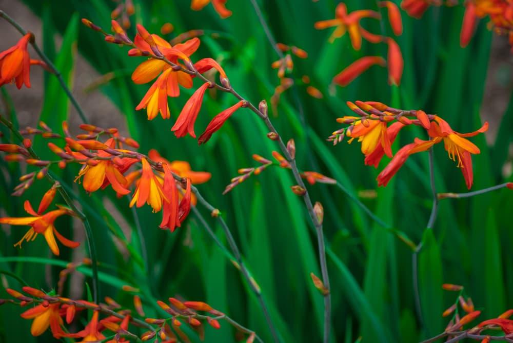 orange Crocosmia (montbretia) flowers
