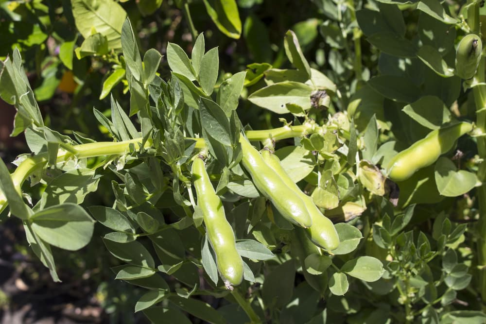 large ripening pods of Vicia faba