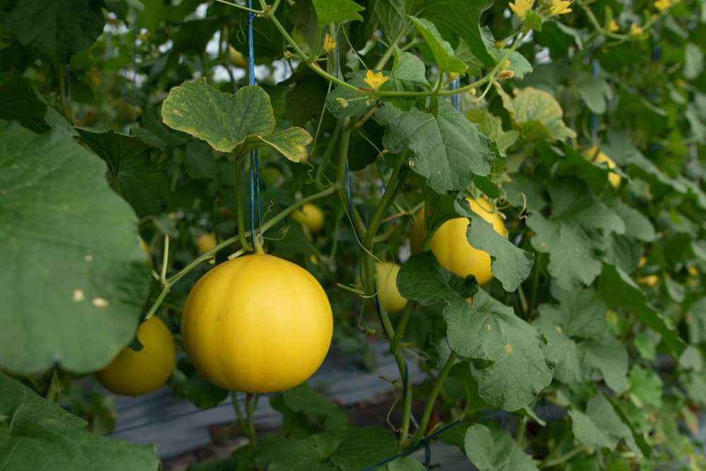 honeydew melons hanging from their branches with green foliage and yellow flowers