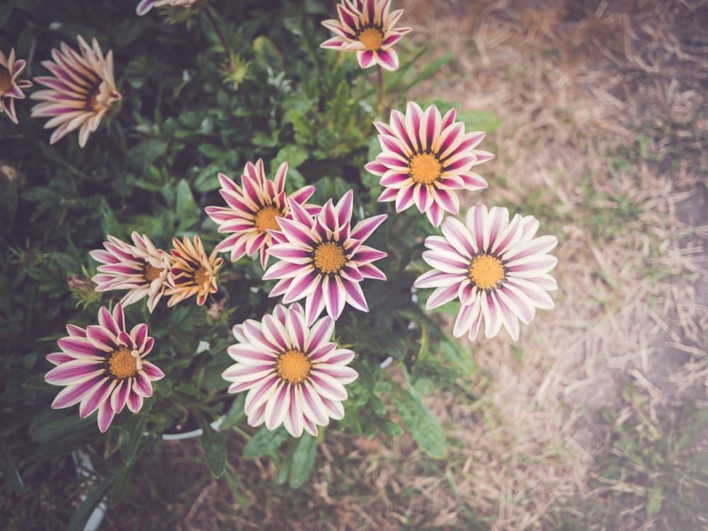 Gazania 'New Day Rose Stripe' flowers