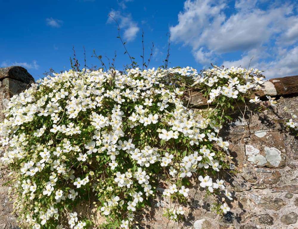 Clematis Montana growing on a stone wall