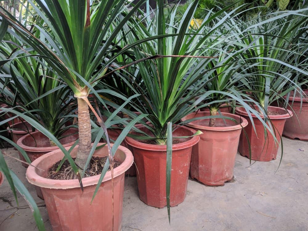 Dracaena draco plants in terracotta pots