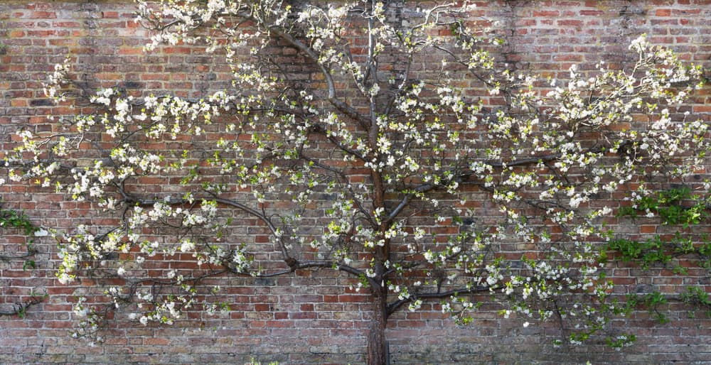 an espaliered plum tree with a wall in the background