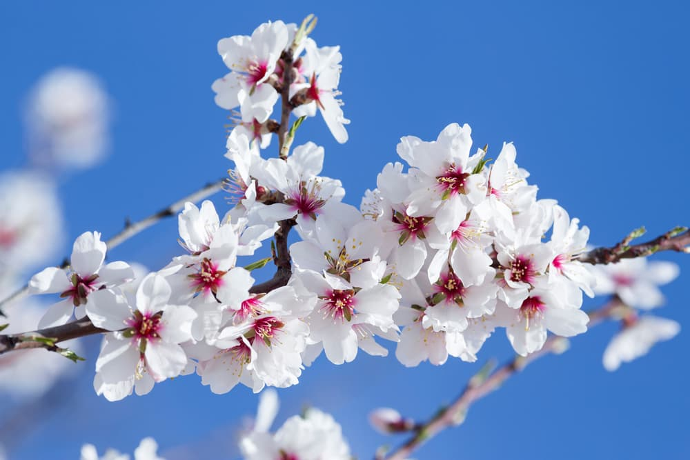 white almond blossoms on a sky blue background