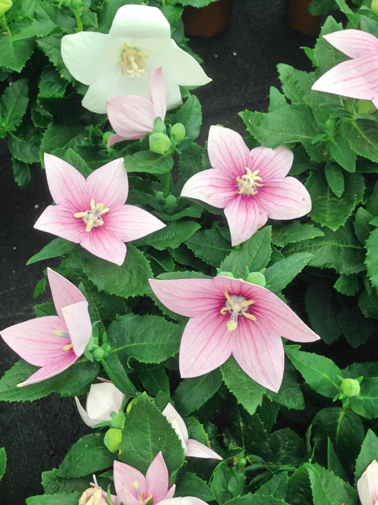 'Perlmutterschale' blooms in a white-ish pink colour