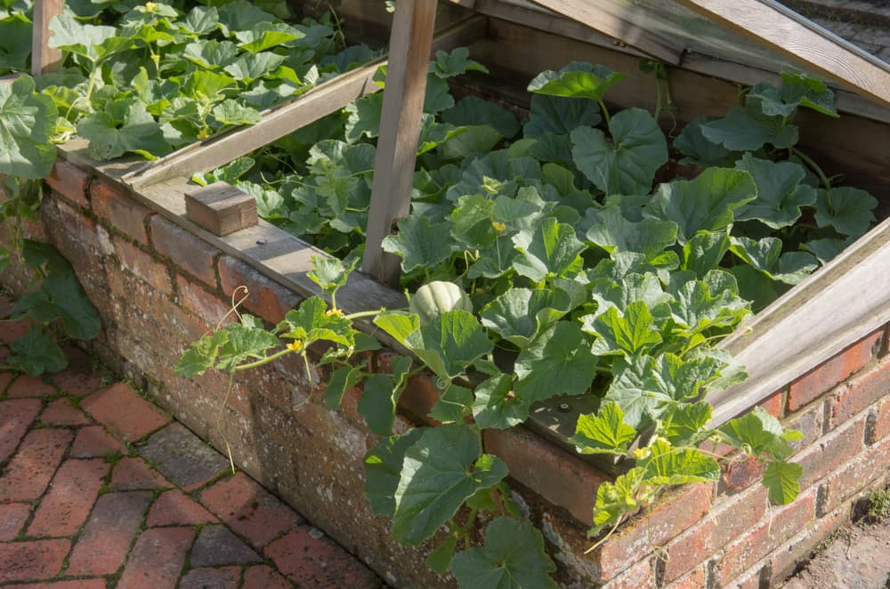 melon plant growing in a cold frame