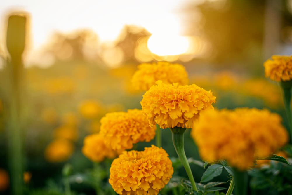 orange mexican marigolds in focus with sunshine in the background