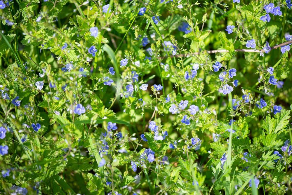 blue germander speedwell flowers in summer