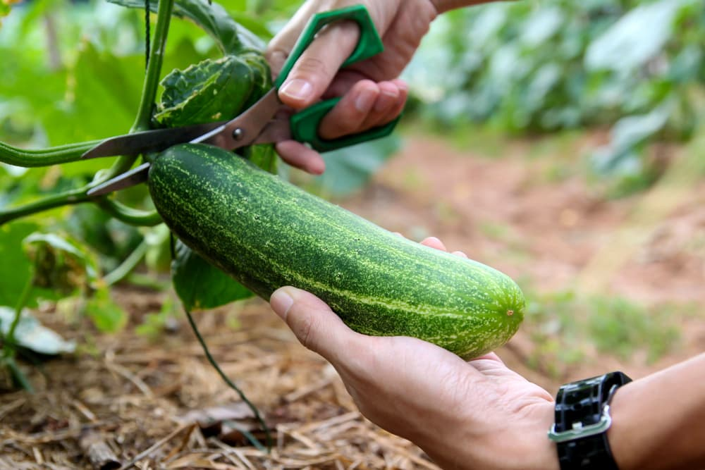 man harvesting a cucumber using scissors to cut it from the plant