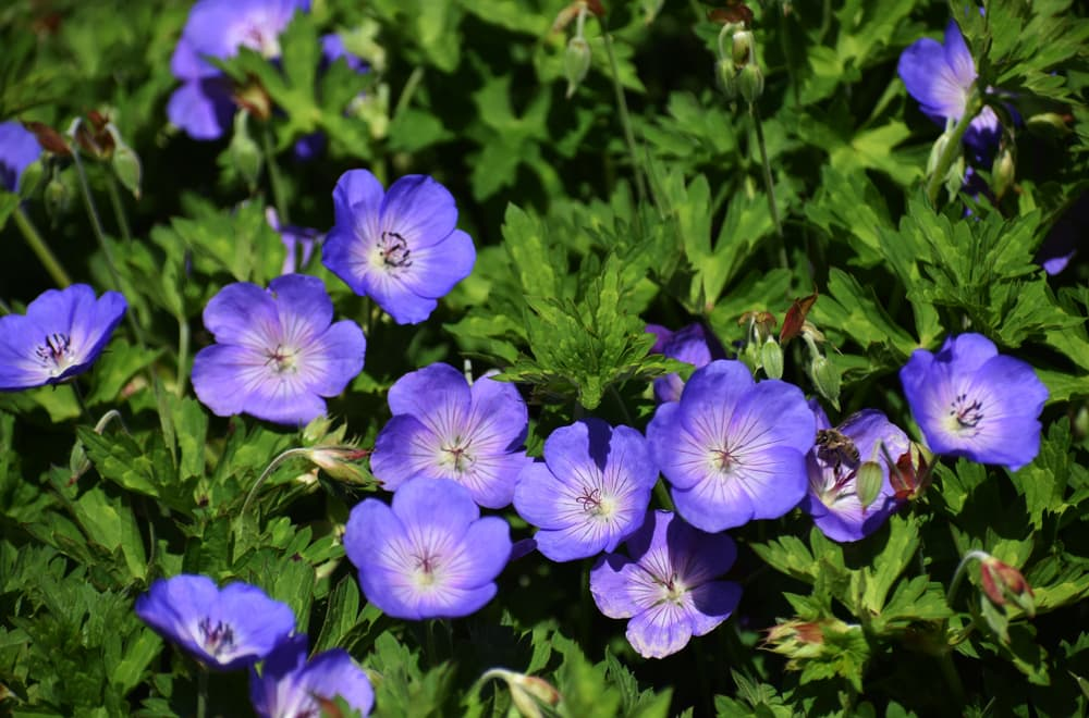 purple Geranium Rozanne in bloom