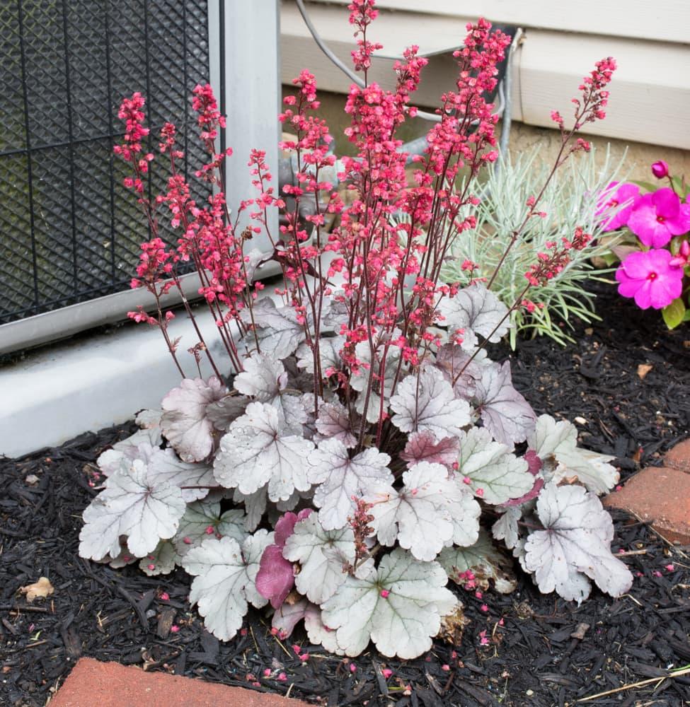 blooms of Silver Gumdrop in a garden bed