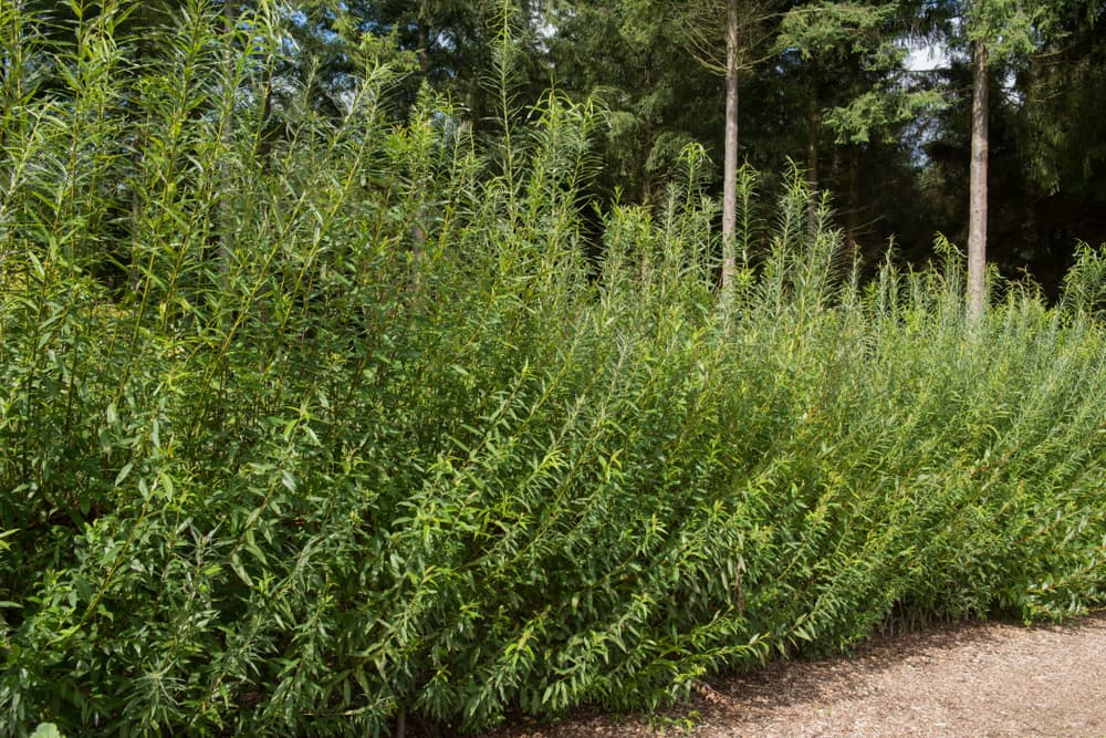 a willow fence and hedge with Douglas Fir Trees in the background
