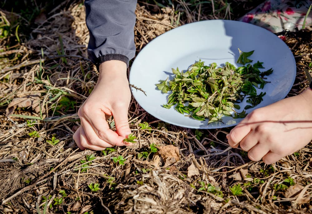 ground elder being picked out of the soil