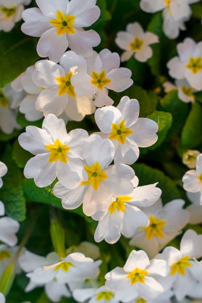 white P. vulgaris 'Dunbeg' flowers up close