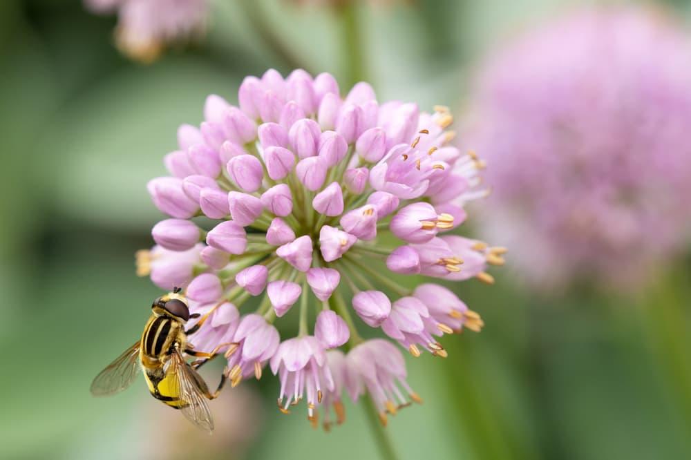 close up of Allium lusitanicum with a hover fly in focus