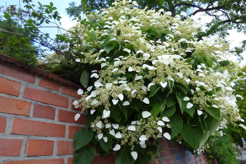 white Hydrangea petiolaris on a garden wall