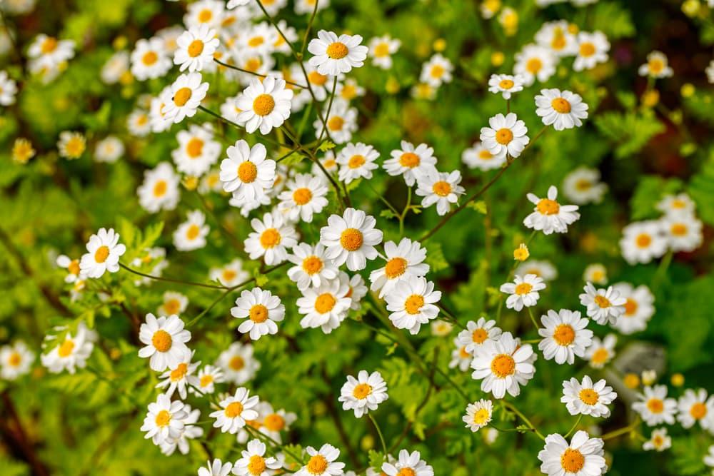 large number of Tanacetum parthenium flowers