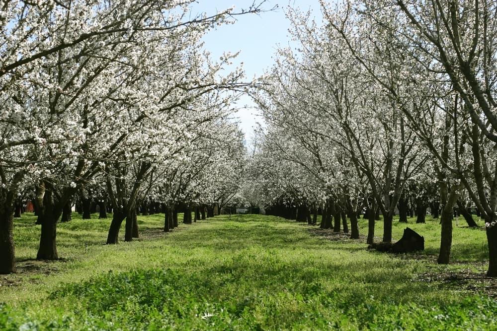 Prunus dulcis trees in neat lines