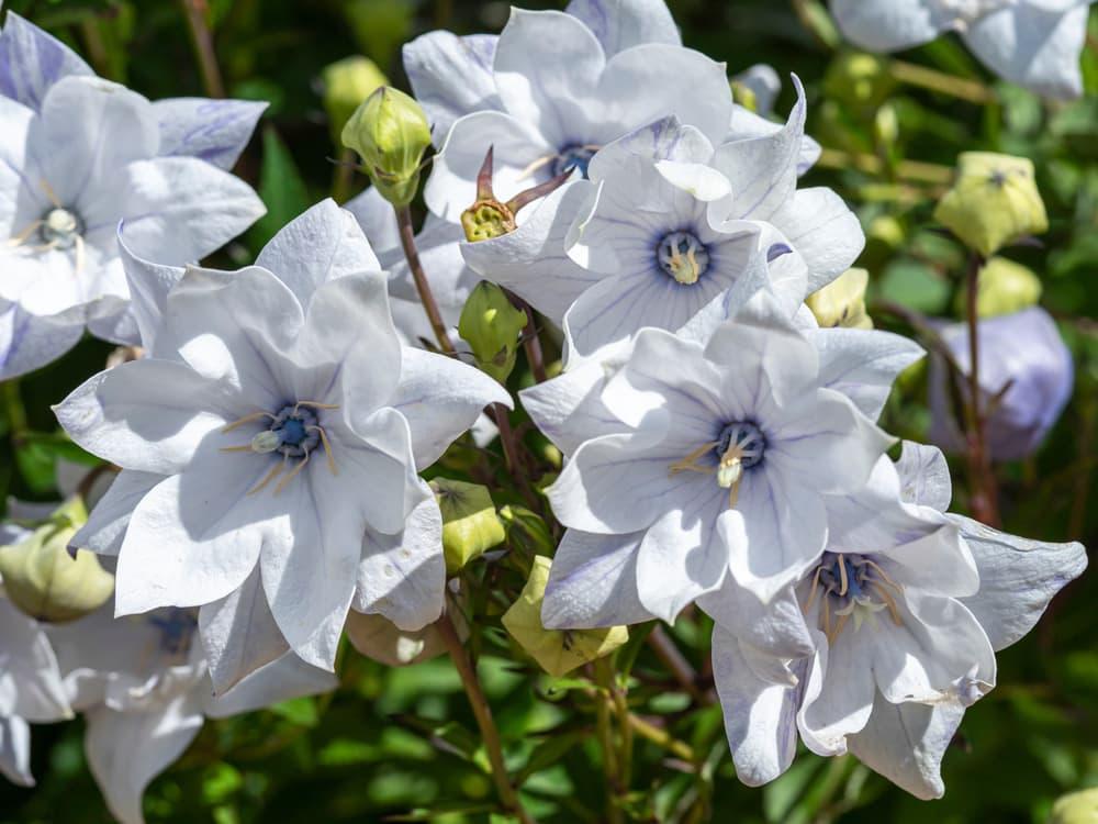 wrinkled 'Hakone White' flowers