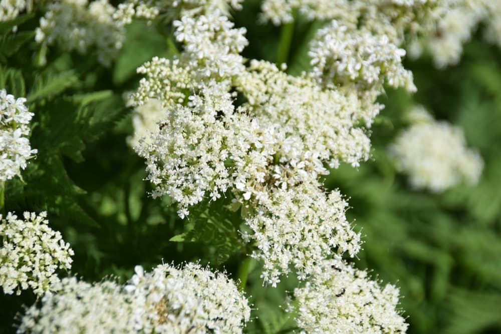 white flowering Sweet Cicely