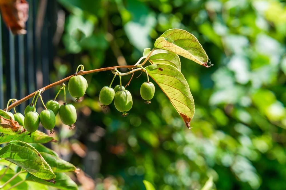 green fuit on a Actinidia Issai tree