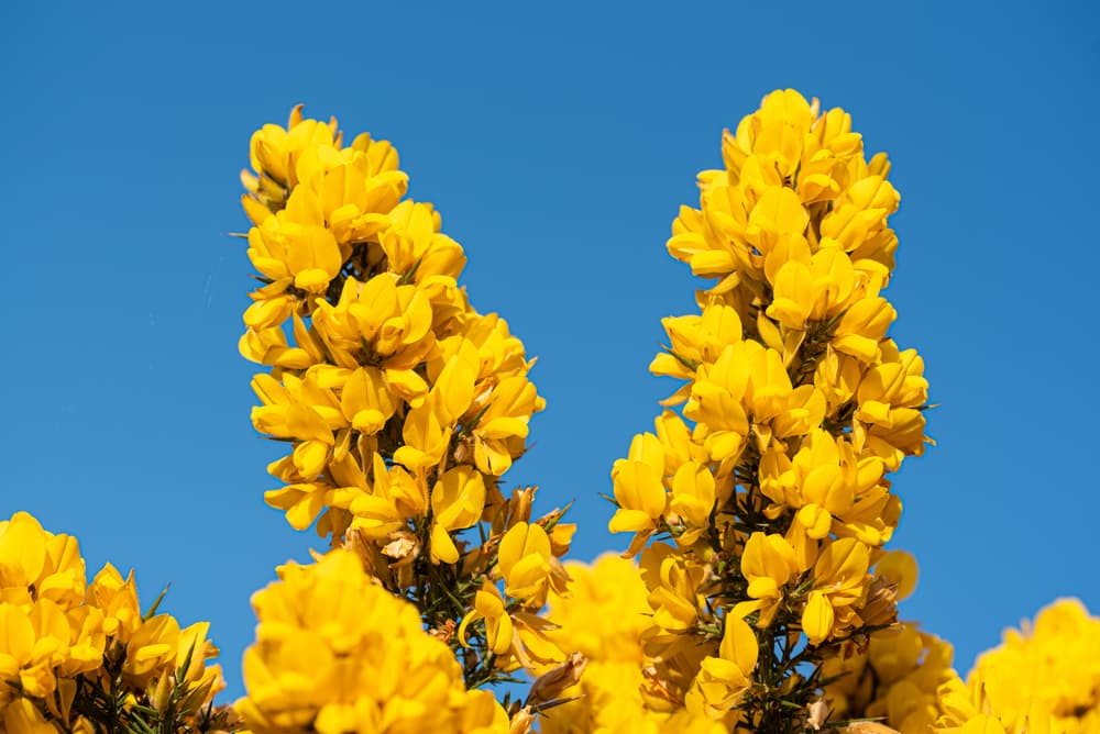 yellow gorse with clear blue sky in the background