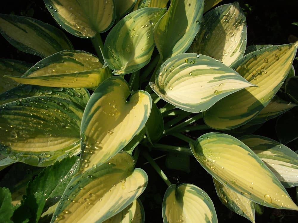 Plantain Lily 'June' leaves