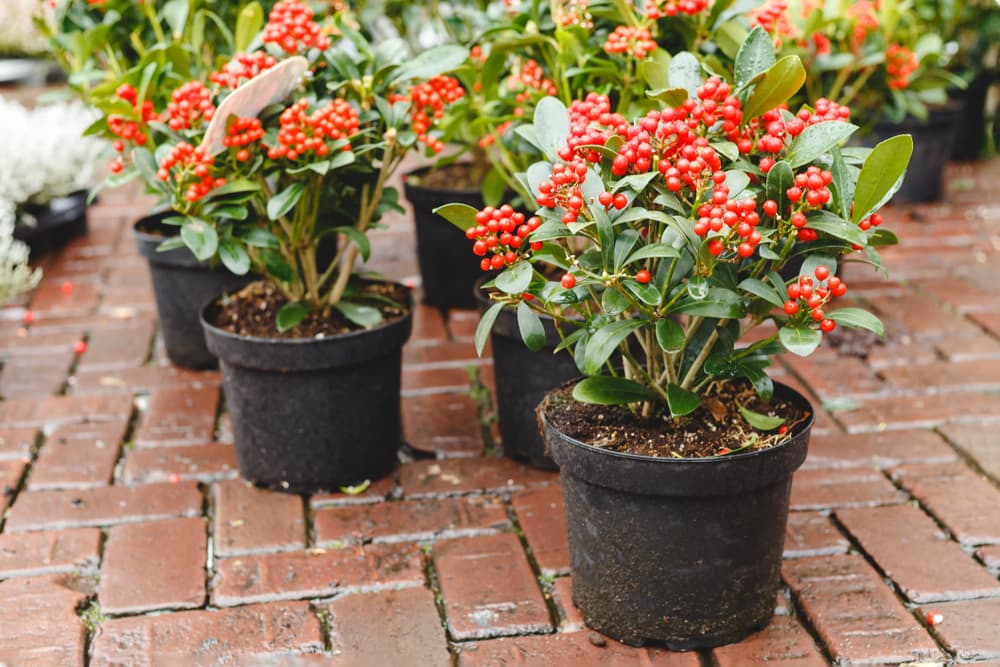 Skimmia japonica with lush green leaves and bright red berries