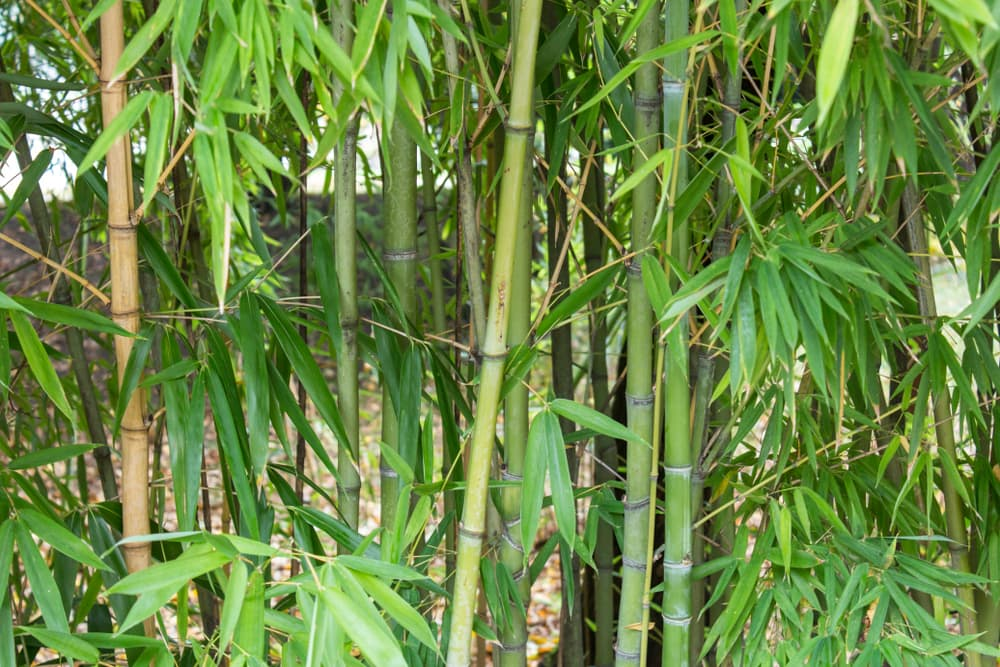 bamboo stems and leaves up close