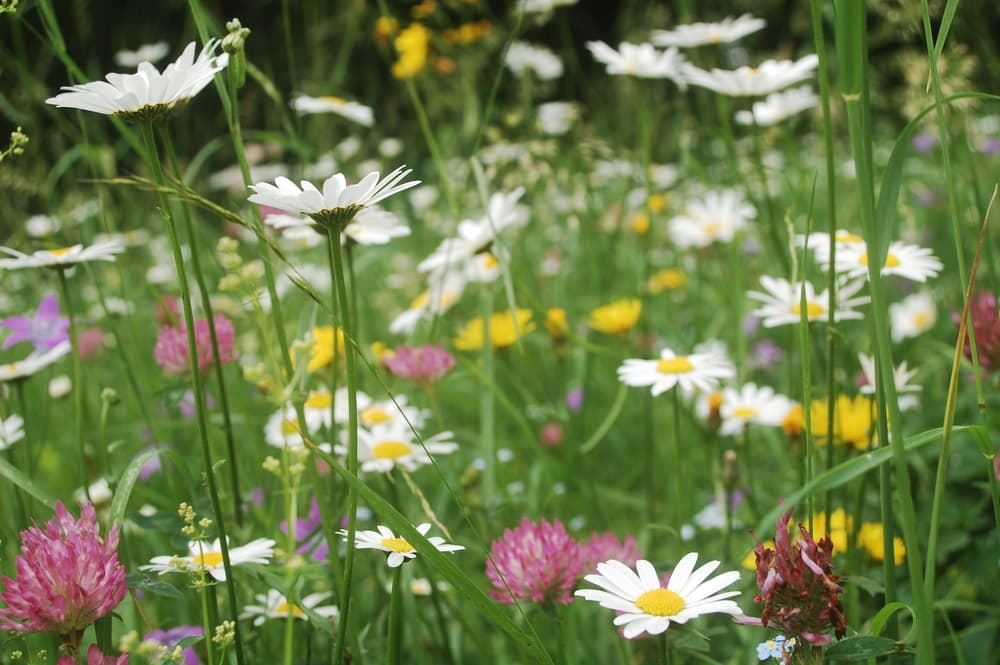 ox-eye daisies, harebell flowers, dandelions and clover flowers in a meadow