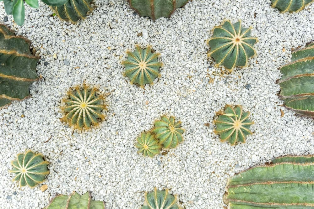 cacti in a scree garden with white gravel