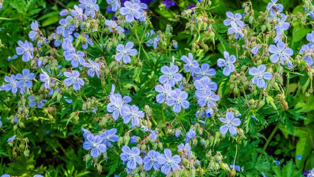 azure blue G. pratense 'Mrs. Kendall Clark'