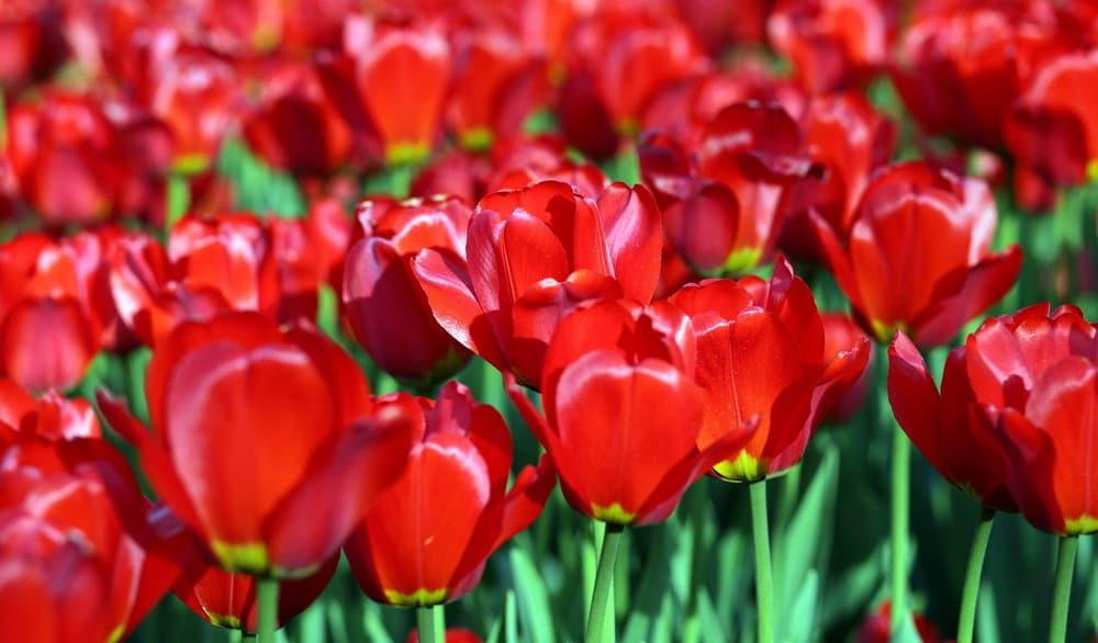 deep red Tulipa 'Couleur Cardinal'