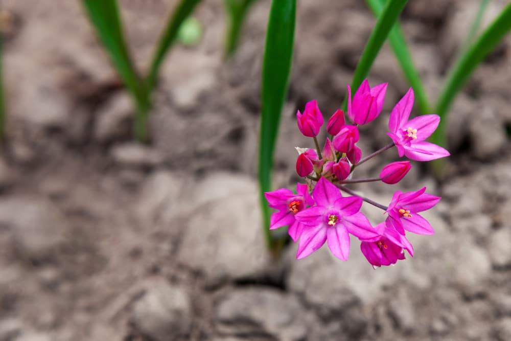 candy pink flowers of Allium oreophilum