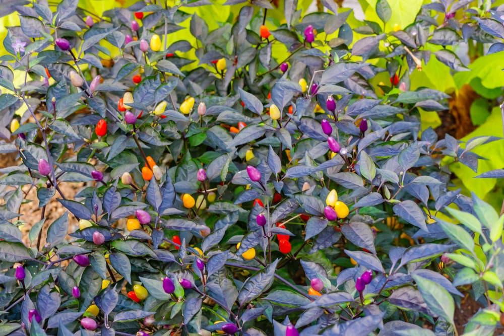 multi coloured chillies on a Capsicum Annuum plant