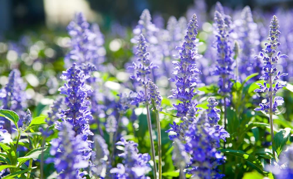 purple flowers of Hyssopus officinalis
