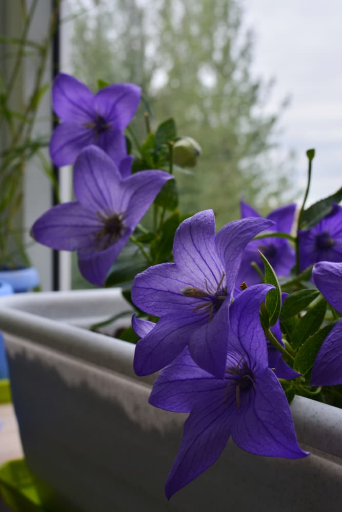balloon flowers growing in a windowsill container