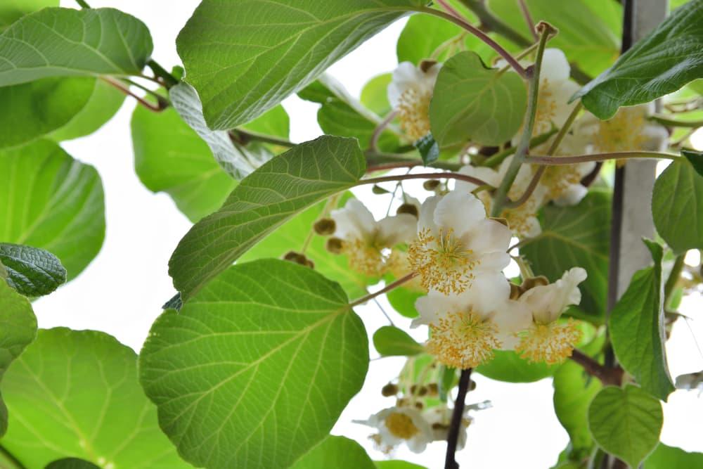 white blooming kiwi flowers